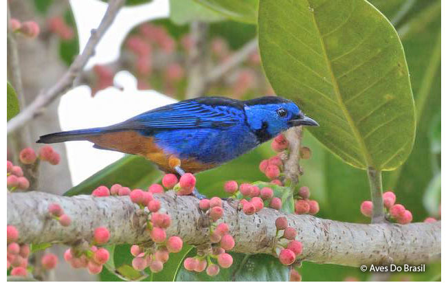 opal-rumped_tanager
