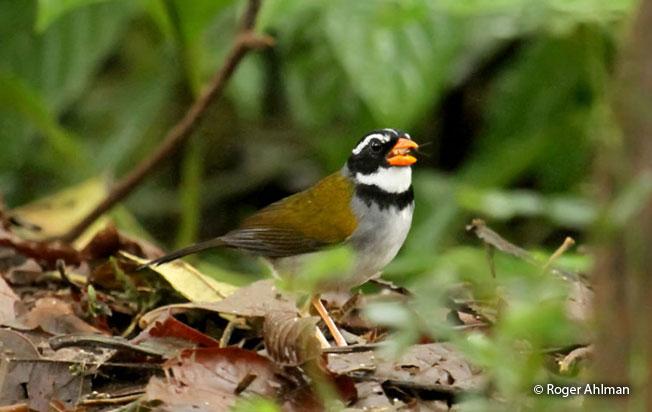 orange-billed-sparrow