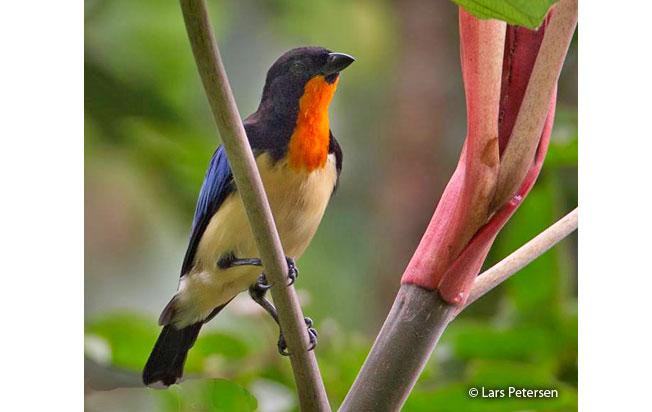orange-throated_tanager