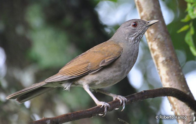 pale-breasted_thrush