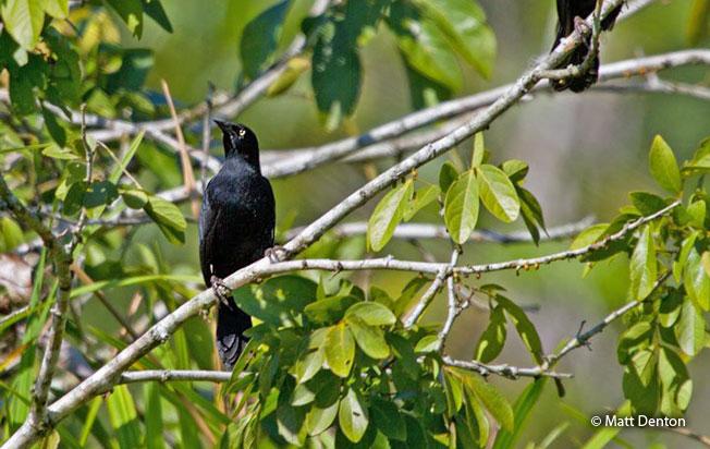 pale-eyed_blackbird