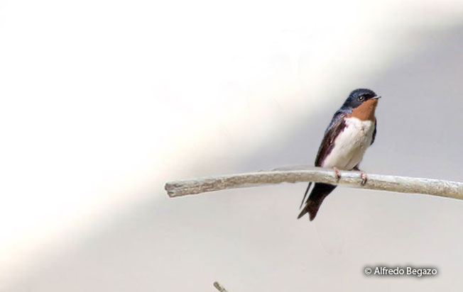 pale-footed_swallow