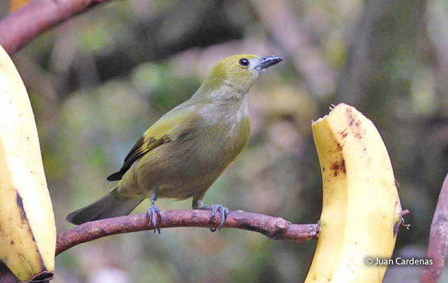 palm_tanager