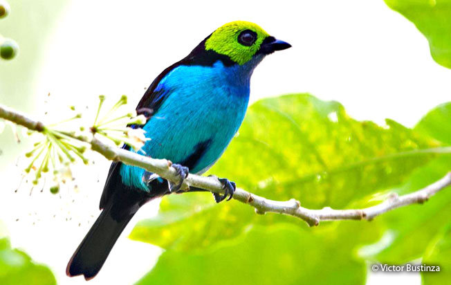 paradise_tanager