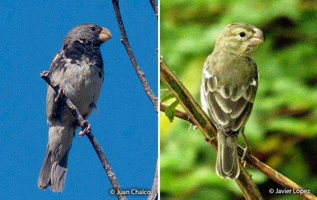 parrot-billeds_seedeater