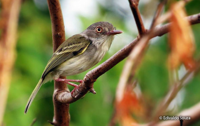 pearly-vented_tody-tyrant
