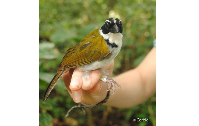perctoral_sparrow