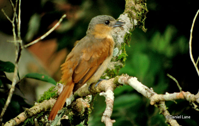 pink-throated_becard
