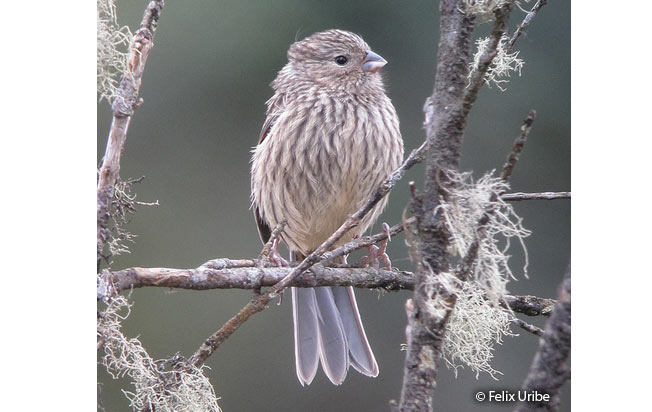 plain-colored_seedeater