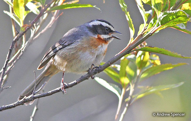 plain-tailed_warbling-finch