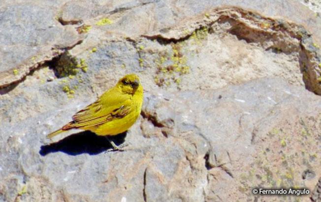 puna_yellow-finch