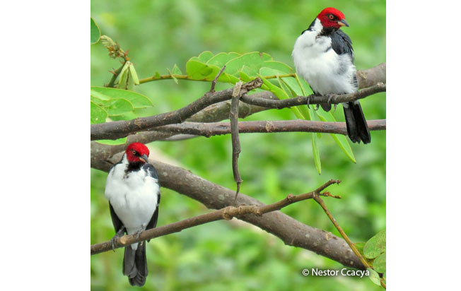 red-capped_cardinal