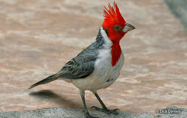 red-crested_cardinal