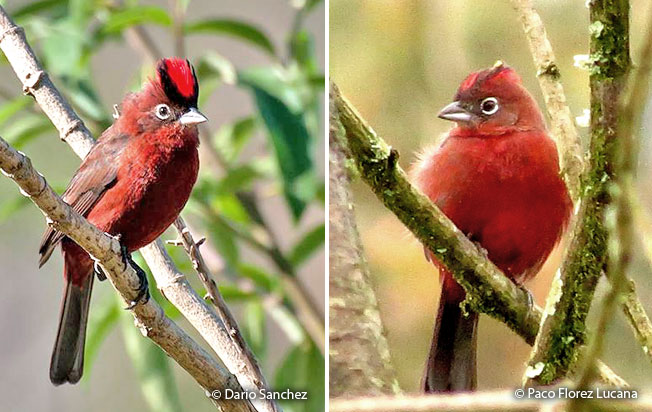 red-crested_finch
