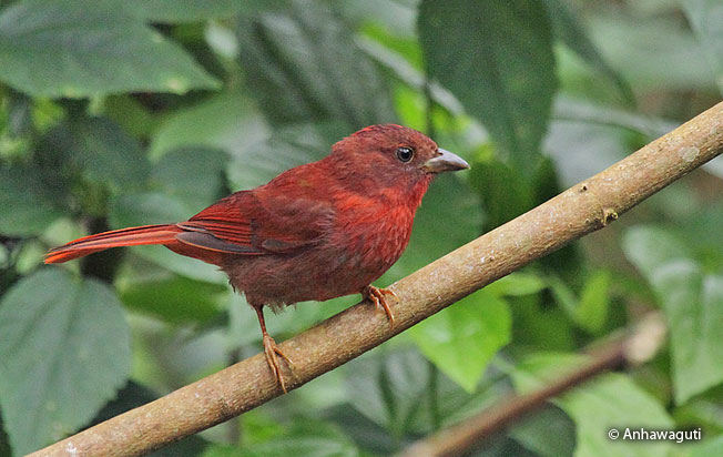 red-crowned_tanager