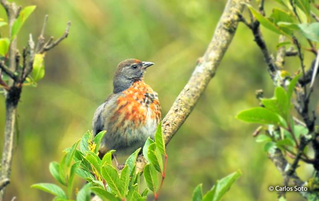 rufous-breasted_warbling-
