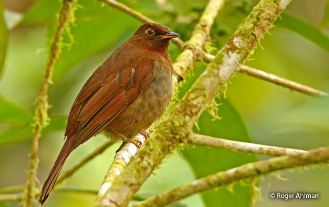 rufous-brown_solitaire