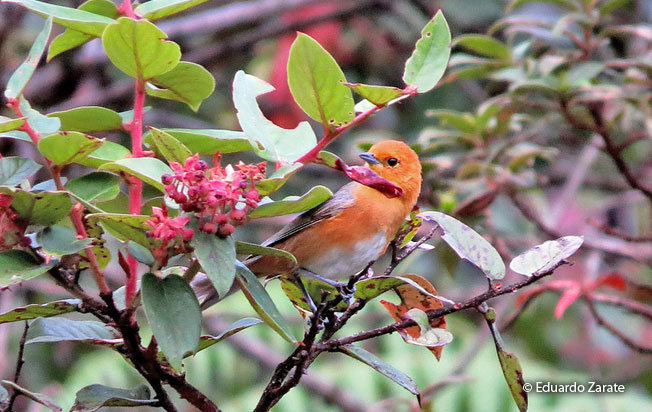 rufous-chested_tanager