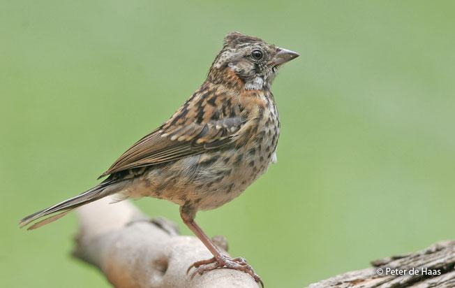 rufous-collared-sparrow