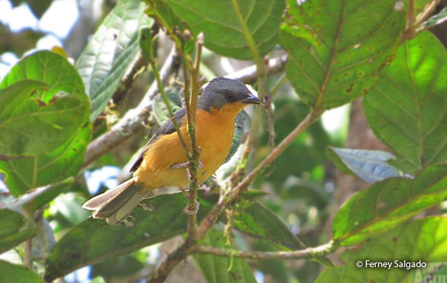 rufous-crested_tanager