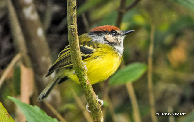 rufous-crowned_tody-tyrant
