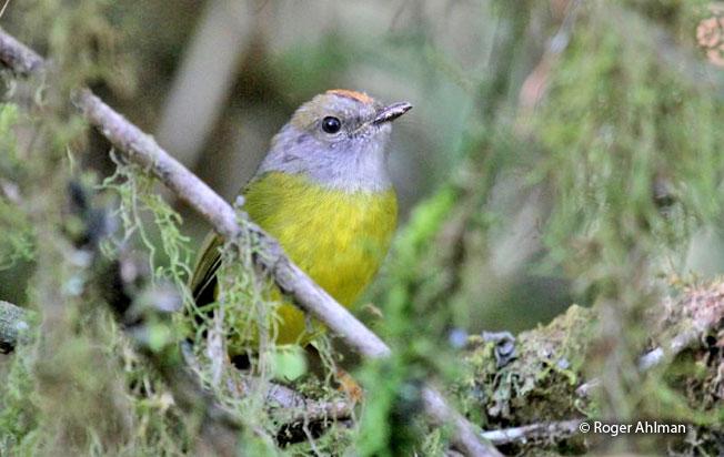 russet-crowned-warbler