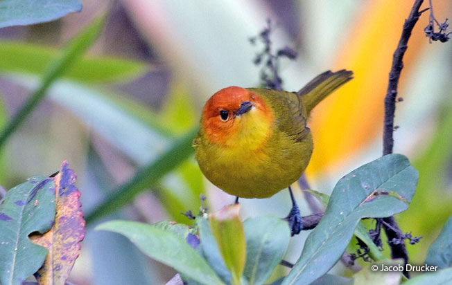 rust-and-yellow_tanager