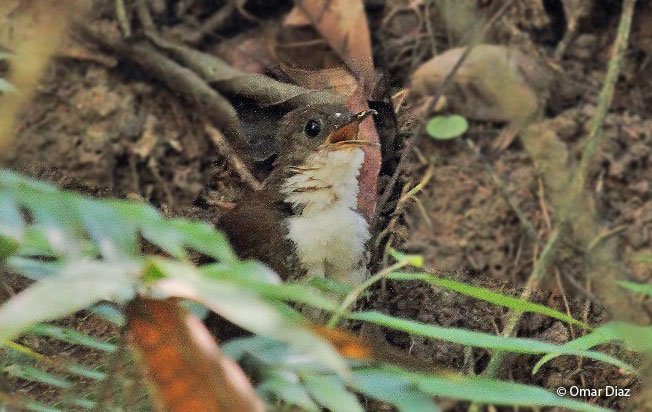 scaly-breasted_wren