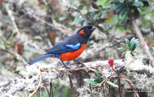 scarlet-bellied_mountain-tanager