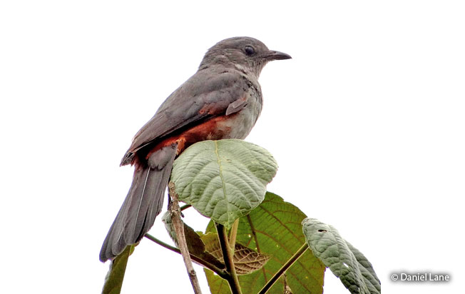 scimitar-winged-piha