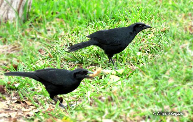scrub_blackbird