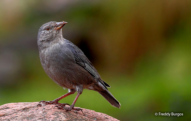 short-tailed_finch