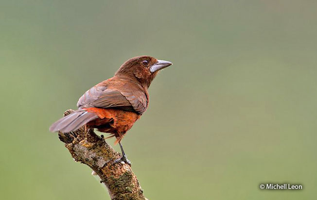 silver-beaked_tanager
