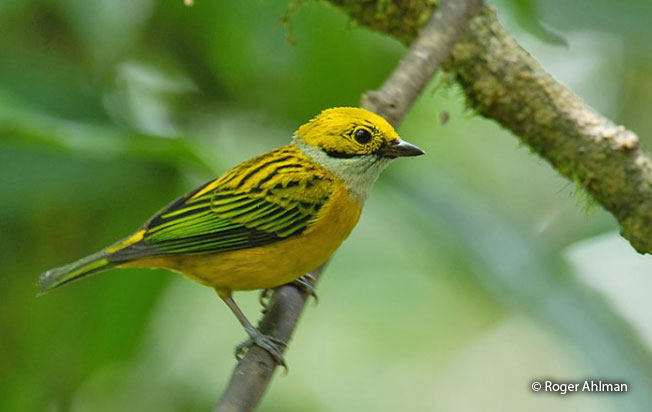 silver-throated_tanager