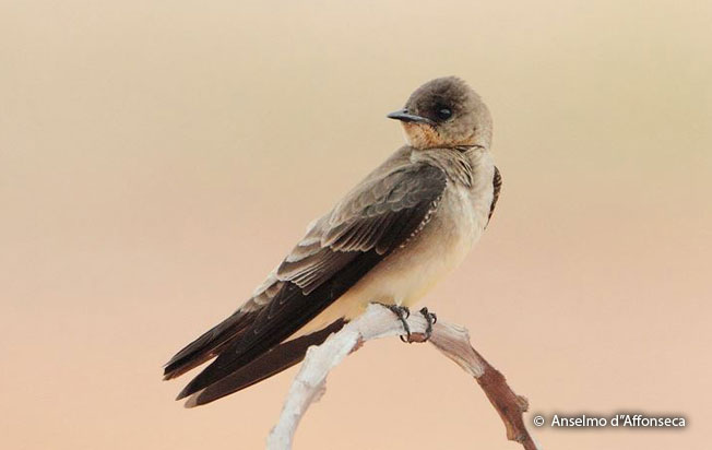 southern-rough-winged_swallow