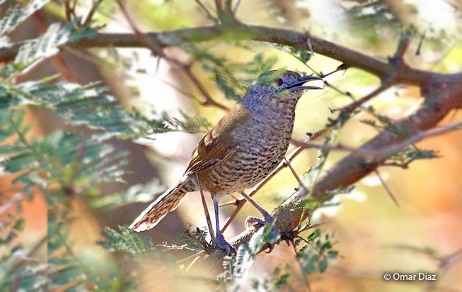 speckle-breasted_wren