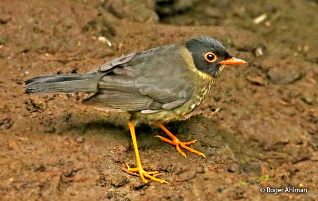 spotted_nightingale_thrush