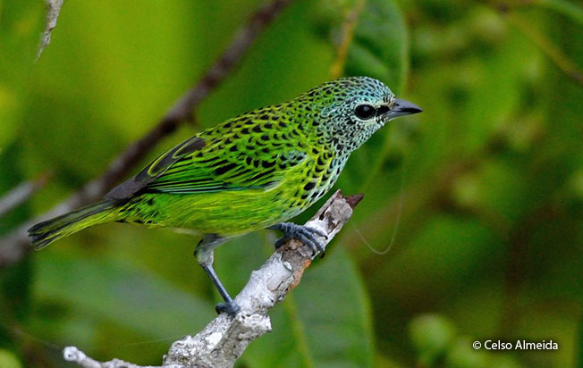 spotted_tanager