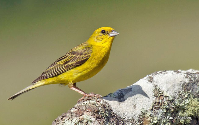 stripe-tailed_yellow finch