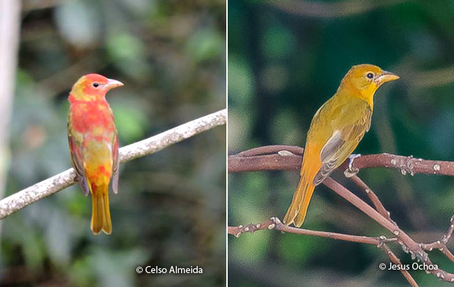 summer_tanager