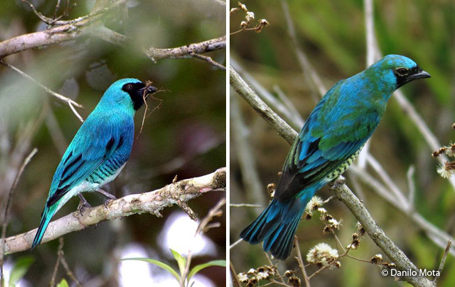 swallow-tanager