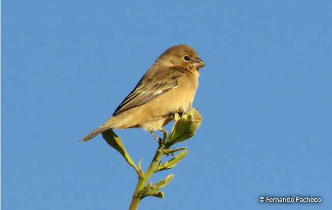 tawny-bellied_seedeater