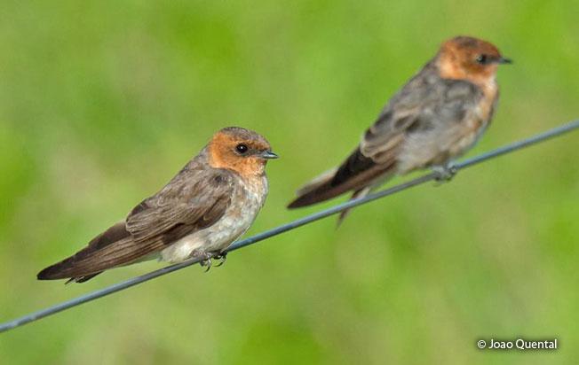 tawny-headed_swallow