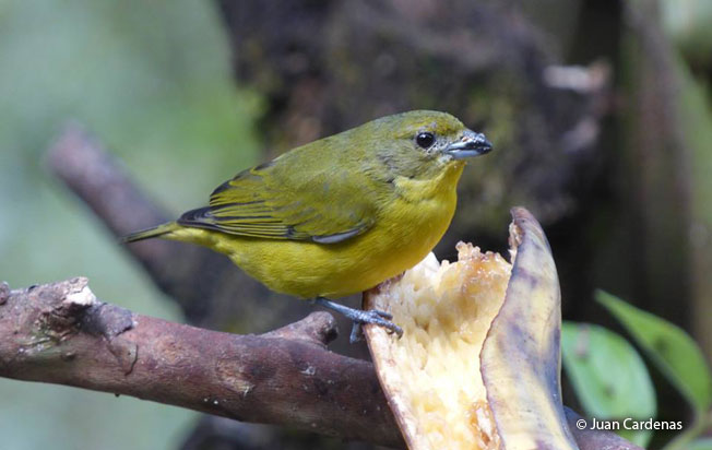 thick-billed_euphonia