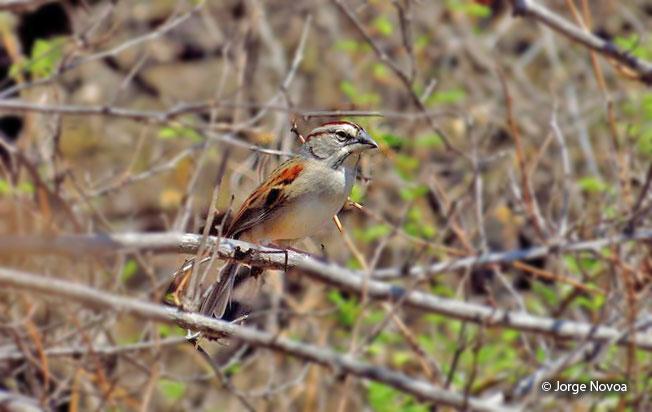 tumbes-sparrow