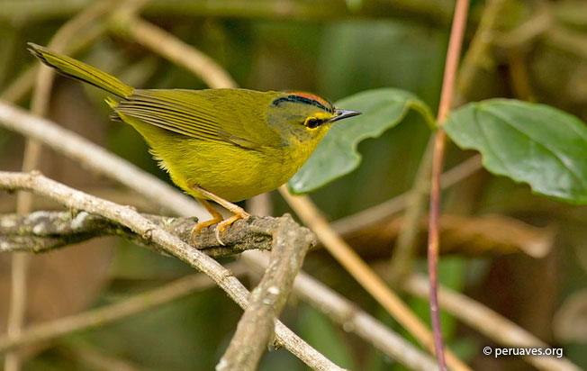 two-banded_warbler