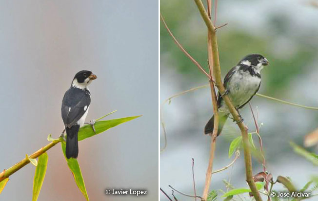 variable-seedeater