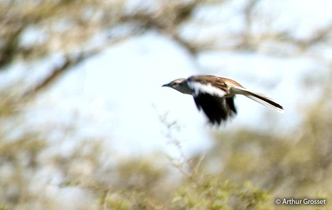 white-banded_mockingbird