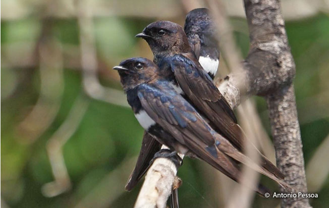 white-banded_swallow