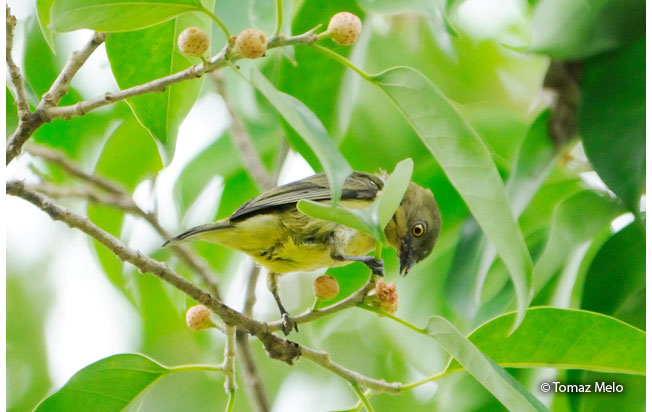 white-bellied_dacnis